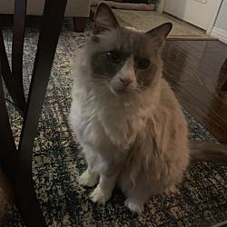Ragdoll Kittens for Sale in Mesquite Texas - Adoptapet com