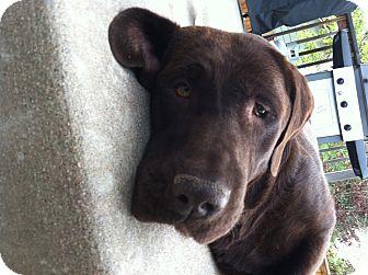 Labrador Retriever Mix Dog for adoption in Evergreen, Colorado - Maverick