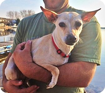 Chihuahua Mix Dog for adoption in Osseo, Minnesota - Chrissy