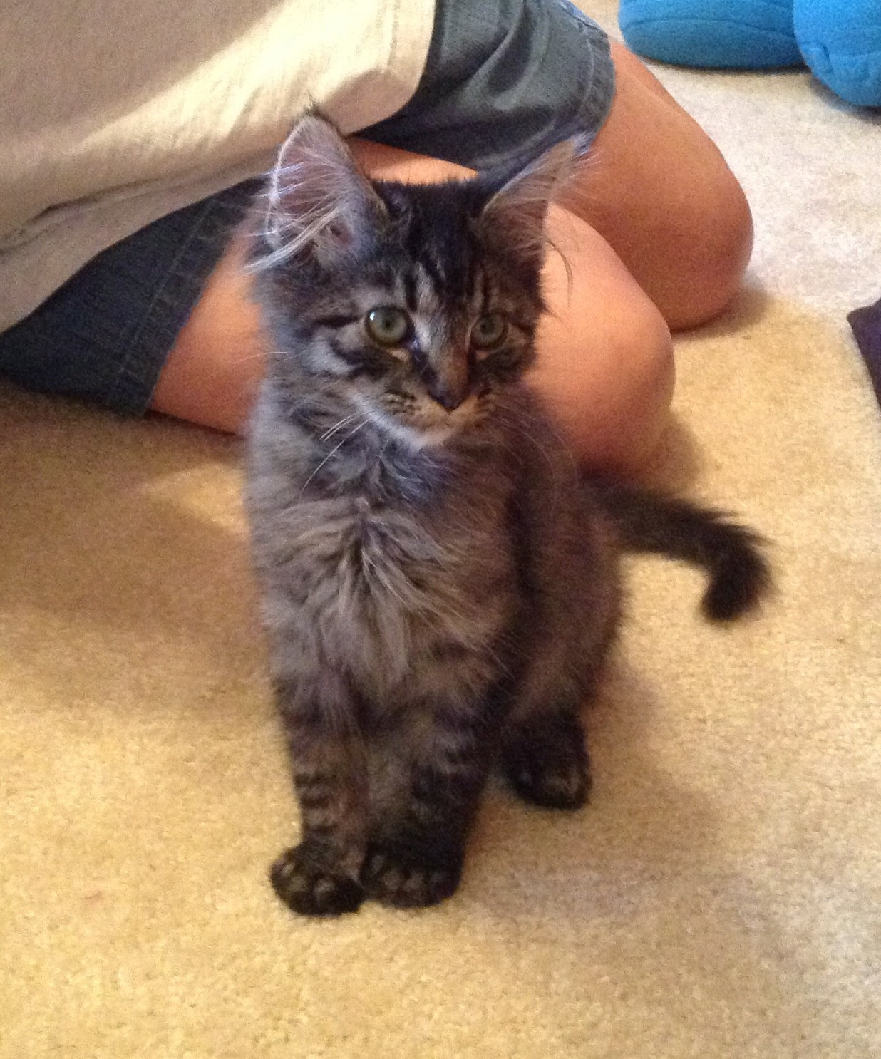Henrico Va Maine Coon Meet Teddy A Cat For Adoption