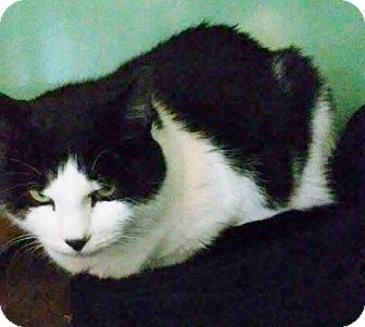 Domestic Mediumhair Cat for adoption in Franklin, New Hampshire - Lacey