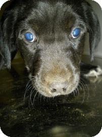 Lincolnton, NC - Labrador Retriever  Meet Black lab