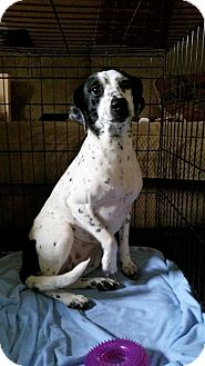 Boxer/Beagle Mix Dog for adoption in Akron, Ohio - Annie