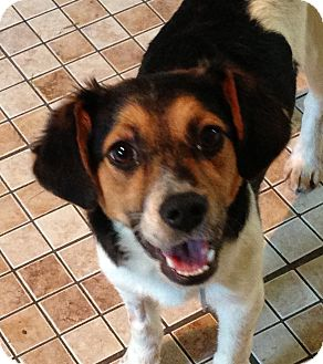 Buffalo Ny Beagle Meet Rosey 6 Months A Pet For Adoption