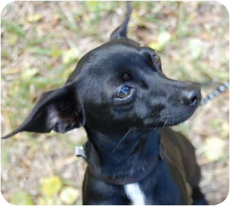 Vero Beach Fl Miniature Pinscher Meet Tank A Pet For Adoption