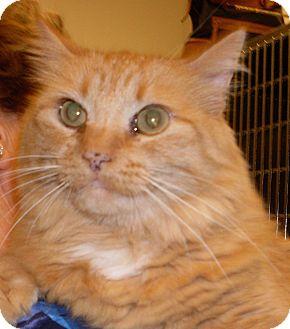 Domestic Longhair Cat for adoption in Buhl, Idaho - Pumpkin