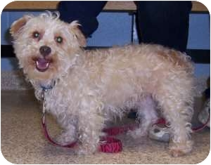 Chambersburg, PA - Bichon Frise  Meet Molly a Pet for Adoption
