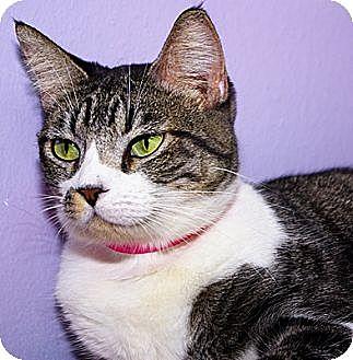 Domestic Shorthair Cat for adoption in Dallas, Texas - DANIELLE