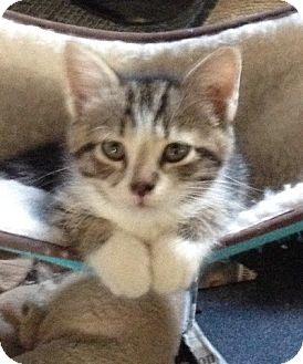 Bedford, VA - Domestic Shorthair. Meet Flora a Pet for Adoption.