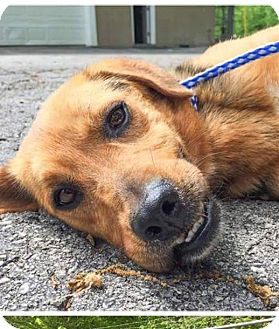 Shepherd (Unknown Type) Mix Dog for adoption in Hainesville, Illinois - Cooper