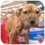 Photo 2 - Shar Pei/Terrier (Unknown Type, Medium) Mix Puppy for adoption in Detroit, Michigan - Loulay-Adopted