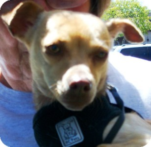 Chihuahua Mix Dog for adoption in Castro Valley, California - Luna