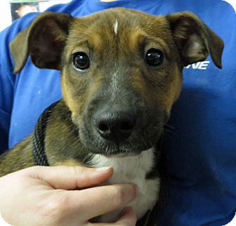 Shepherd (Unknown Type)/Labrador Retriever Mix Puppy for adoption in Middletown, New York - Chris Kringle