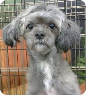Geneva Fl Shih Tzu Meet Periwinkle A Pet For Adoption