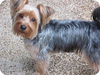Allentown, PA - Yorkie, Yorkshire Terrier  Meet Yogi a Pet