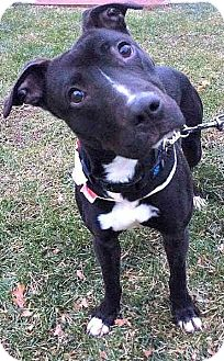 American Pit Bull Terrier/Labrador Retriever Mix Dog for adoption in Cranford, New Jersey - Logan