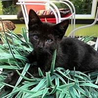 Adopt A Pet :: Shadow - Hudson, NY
