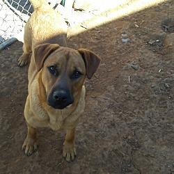Boxer Puppies for Sale in Winston-Salem North Carolina