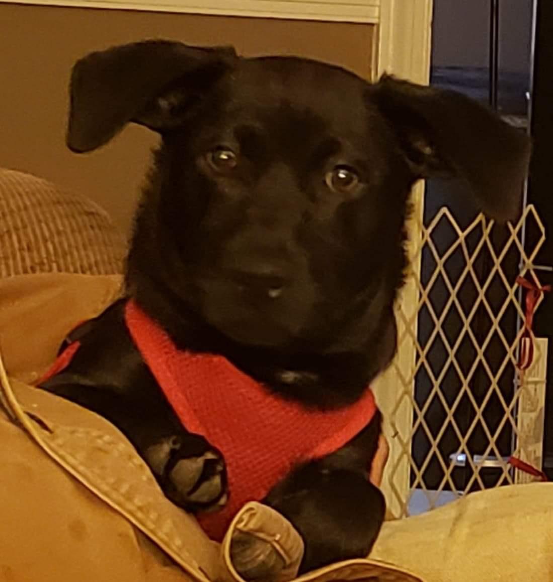 Adopt Murphy a Black Jack Russell Terrier / Dachshund ...