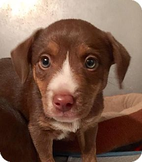 Labrador Retriever/Australian Shepherd Mix Puppy for adoption in Franklin, Tennessee - Cali