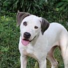 Adopt A Pet :: PUPPY DAISY GREY