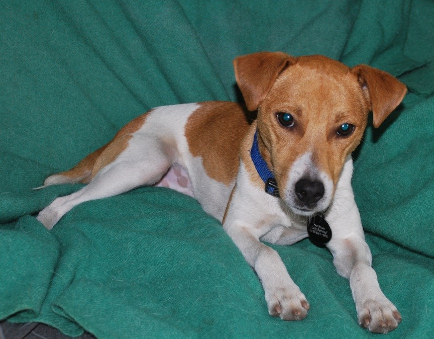 San Francisco, CA - Smooth Fox Terrier. Meet Kobe a Dog for Adoption.