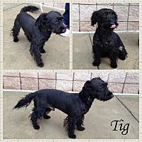 Adopt A Pet :: Tig - Newnan, GA