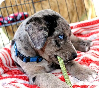 Houston, TX - Catahoula Leopard Dog  Meet Dusty a Pet for