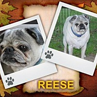 Adopt A Pet :: Reese - Walled Lake, MI