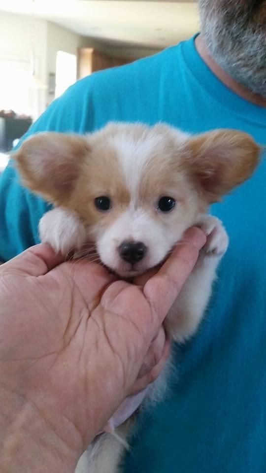 Salisbury Nc Corgi Meet Teddy Roosevelt A Pet For Adoption