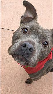 Adopt A Pet :: Peyton  - Troy, MI