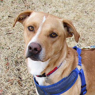 Adopt A Pet :: Maverick  - Oklahoma City, OK