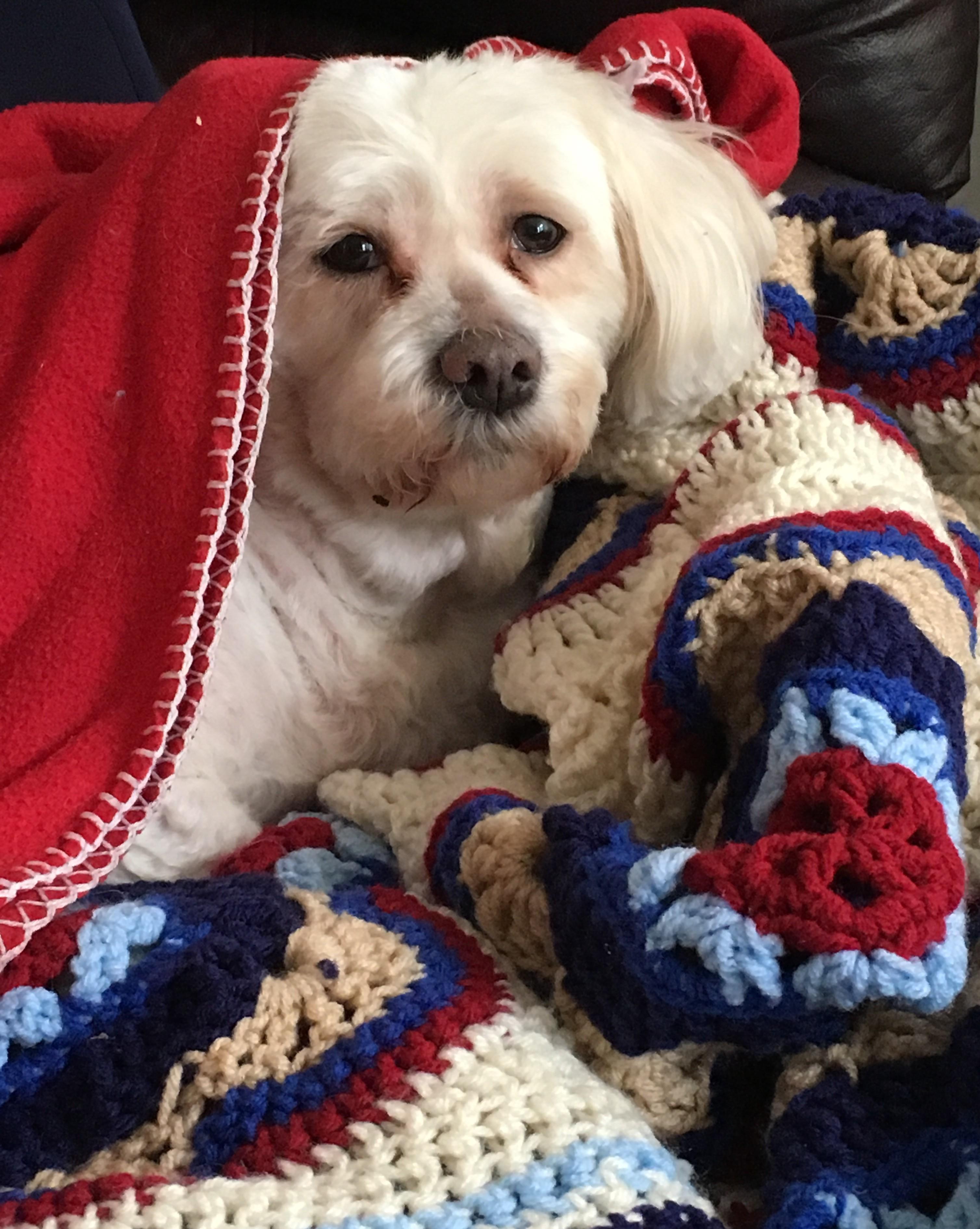 Lynchburg Va Shih Tzu Meet Penny A Pet For Adoption