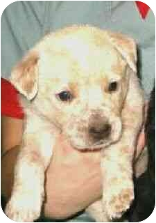 Australian Cattle Dog Mix Puppy for adoption in Kingwood, Texas - Hodge