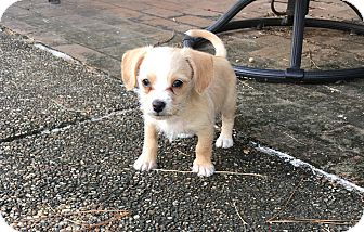 Terrier (Unknown Type, Medium)/Chihuahua Mix Puppy for adoption in San Francisco, California - Delta