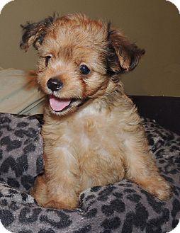 La Habra Heights, CA - Cockapoo  Meet Rufus a Pet for Adoption