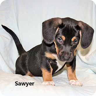 Howell Mi Beagle Meet Sawyer A Pet For Adoption