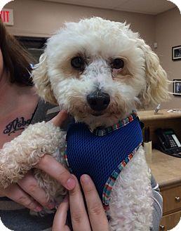 Olive Branch, MS - Bichon Frise  Meet Little Guy a Pet for