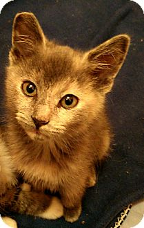 Domestic Shorthair Kitten for adoption in Los Angeles, California - Clarice