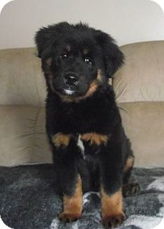 Marysville Oh Bernese Mountain Dog Meet Oso A Pet For