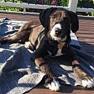 Adopt A Pet :: Asher (Chestnut)