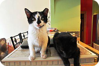 Domestic Shorthair Kitten for adoption in St. Louis, Missouri - Bruce