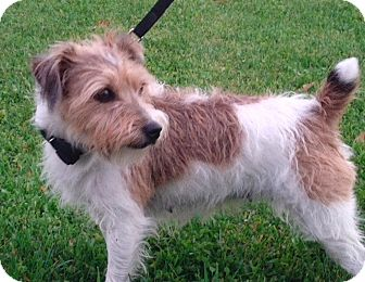 Small Breed Wirehaired Dogs
