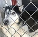 Adopt a Pet :: Domino - Monte Vista, CO -  Shepherd (Unknown Type)/Husky Mix