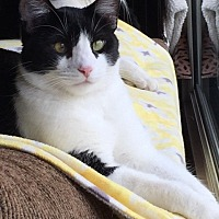 Domestic Shorthair Cat for adoption in Long Beach, California - Butch and Sonny