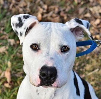 Adopt A Pet :: Odie  - Mt Vernon, IN