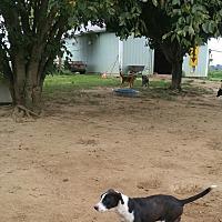 Adopt A Pet :: Bella - Columbia, KY