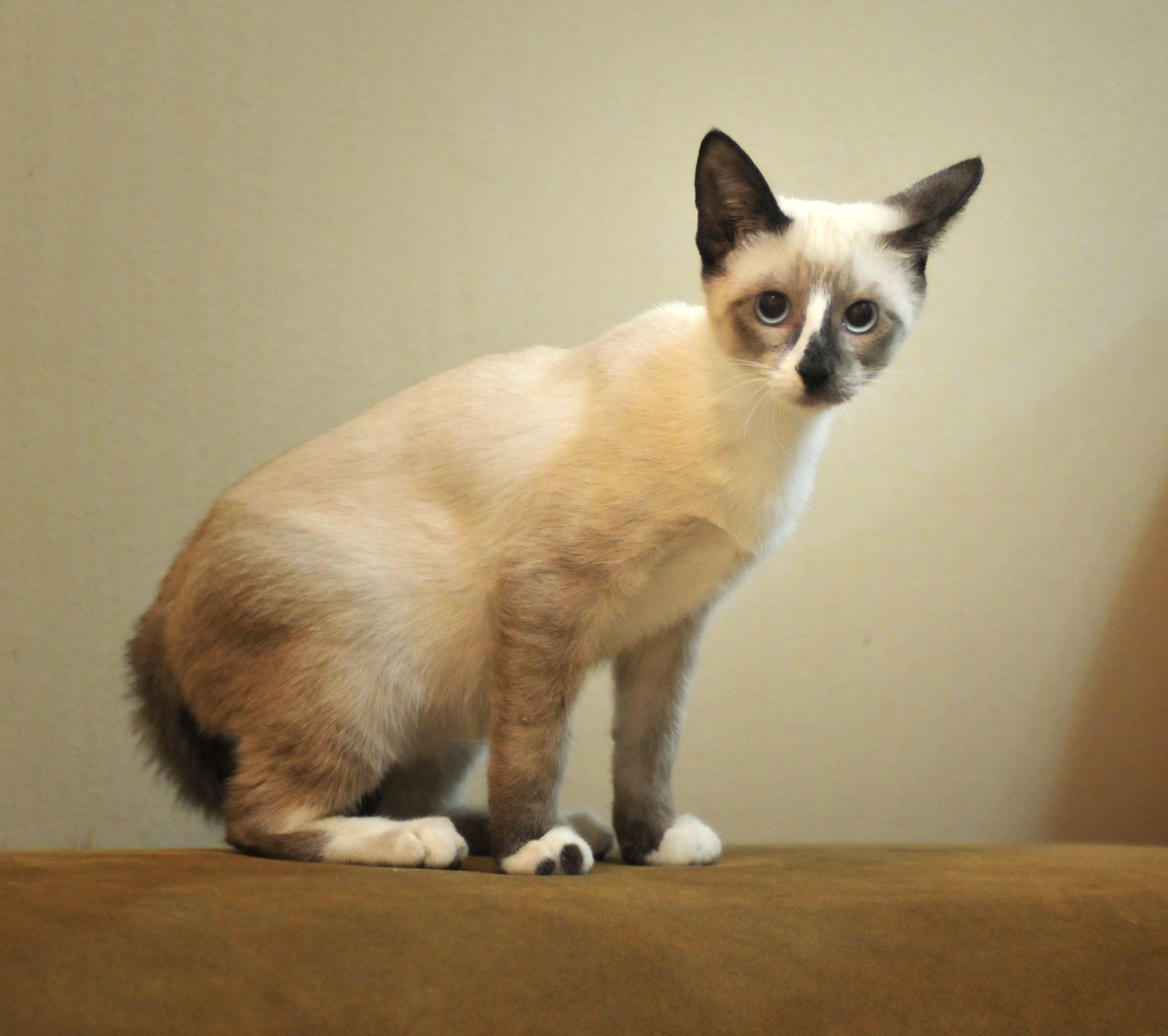 Bend, OR - Siamese. Meet Augustus a Cat for Adoption.