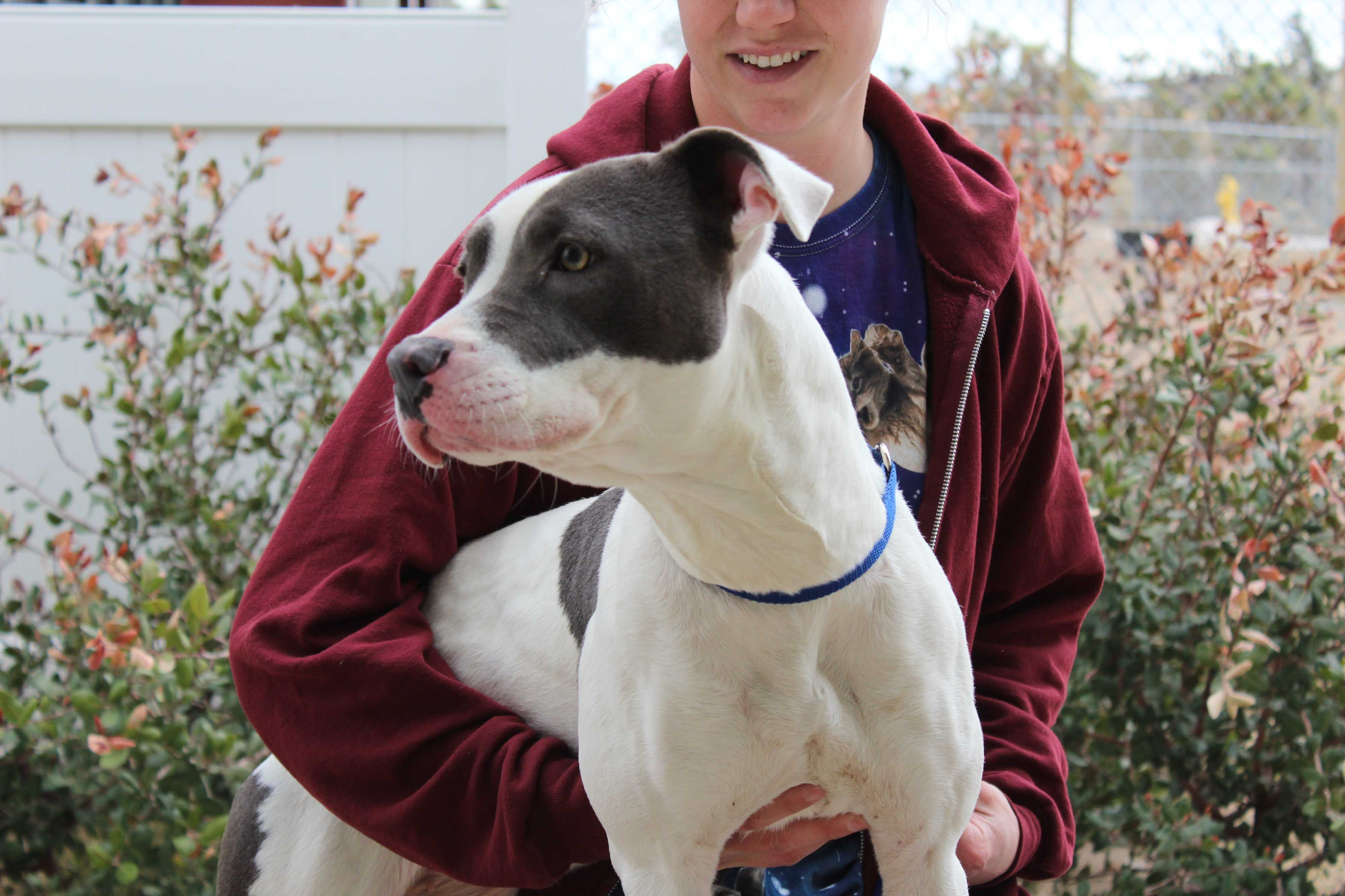 Husky puppies for sale yucca valley - Yucca Valley Ca Pit Bull Terrier Meet Sasha Blue Bentley A Dog For Adoption