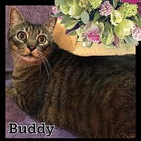 Adopt A Pet :: Buddy - Arlington/Ft Worth, TX